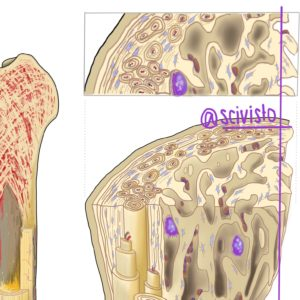 bone illustration scivisto