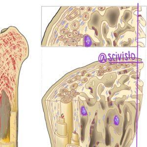 bone illustration scivisto